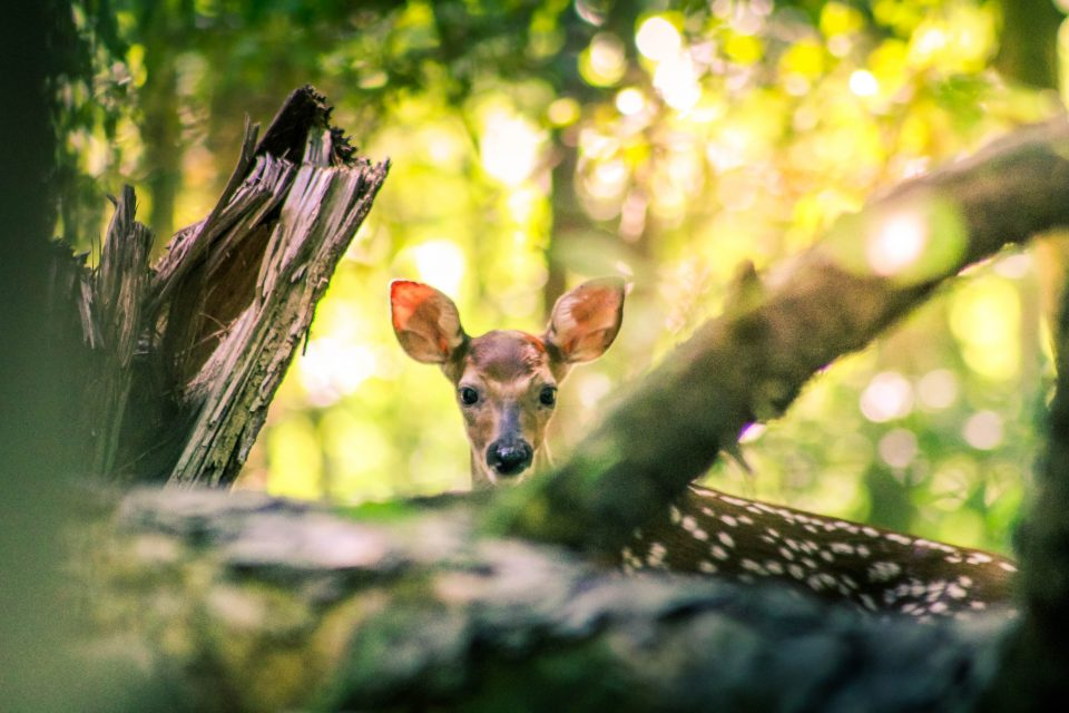 young deer in the forest